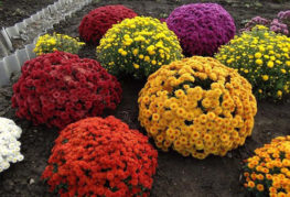 Хризантема мультифлора разных сортов
