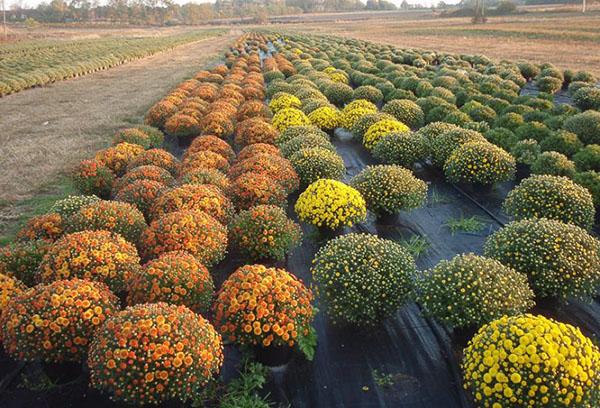Шаровидные хризантемы в питомнике