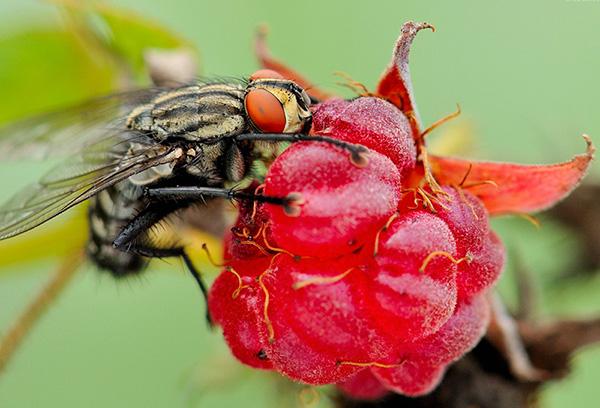 Малинная муха
