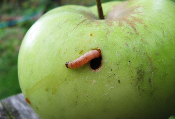 Яблонная плодожорка
