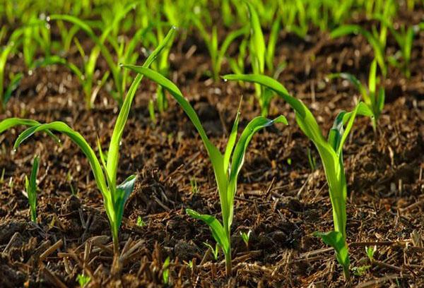 Всходы на почве, удобренной навозом