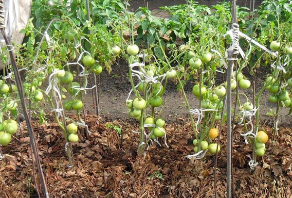 Органическая мульча на грядке с томатами
