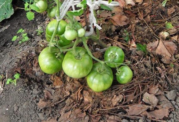 Органическая мульча под кустом томата