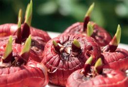 Проросшие луковицы гладиолусов