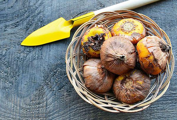Луковицы гладиолусов в корзине