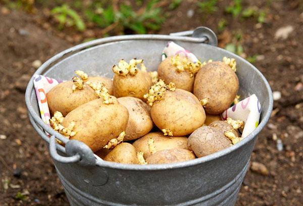 Проросший картофель для посадки