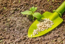 Посев огурцов в открытый грунт