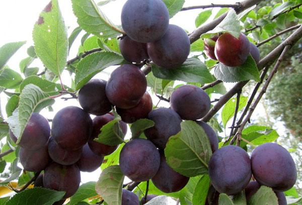 Плоды сливы на ветке