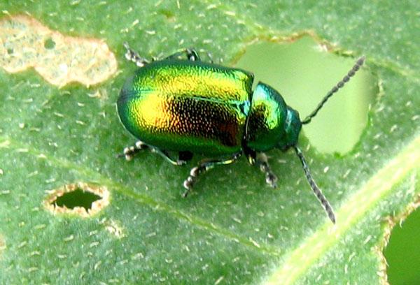 Щавелевый жук-листоед