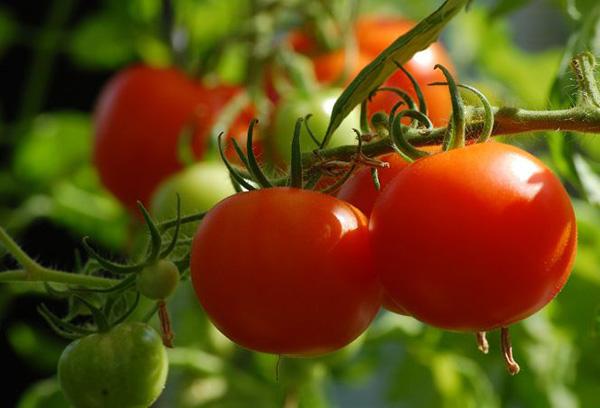 Вызревание помидоров