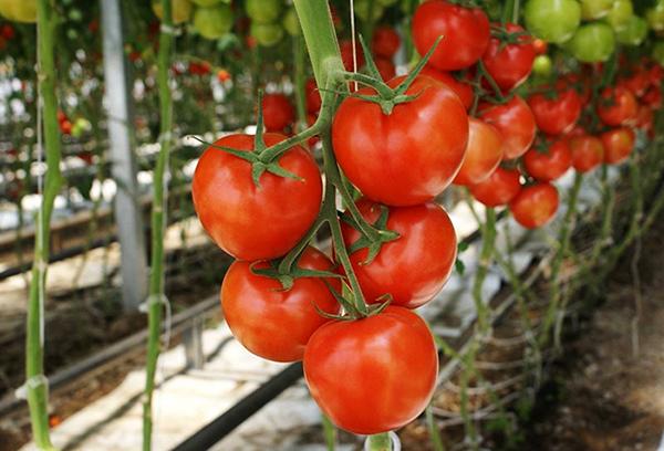 Зреющие индетерминантные томаты