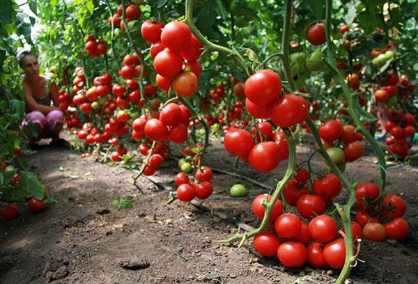 Урожай индетерминантных томатов