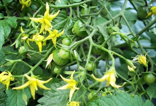 Цветение помидоров