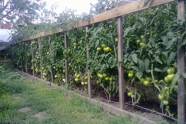 Шпалера для подвязки помидоров