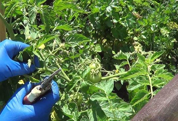 Обрезка жирующих томатов