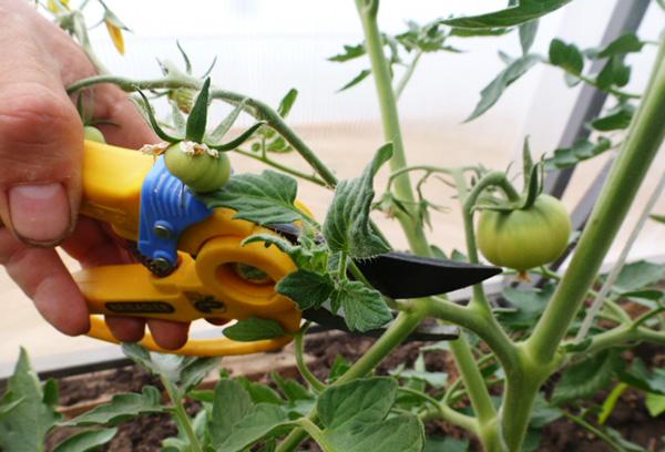 Обрезка жирующего томата
