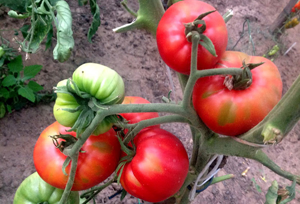 Куст томата сорта воловье сердце