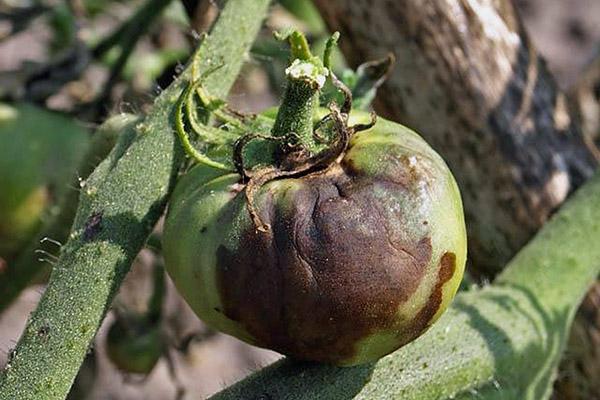 борьба с фитофторой на помидорах в теплице в августе