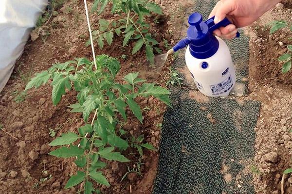 Опрыскивание помидоров на грядке