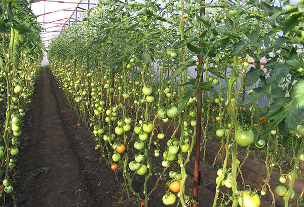 Индетерминантные томаты без нижних листьев