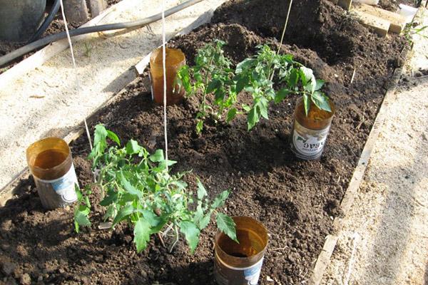 Капельный бутылочный полив на грядке с томатами