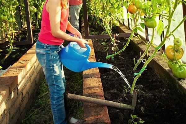 Полив индетерминантных томатов