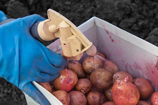 """Опрыскивание картофеля """"Престижем"""" перед посадкой"""
