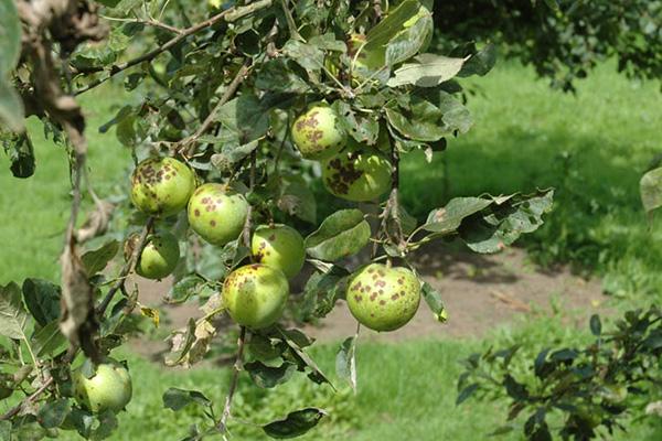 Пораженная паршой яблоня