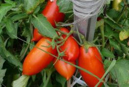 Помидоры сорта Петруша огородник
