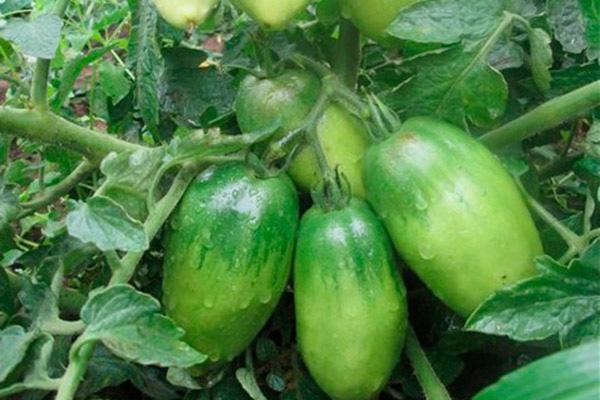 Вызревание томатов Петруша-огородник