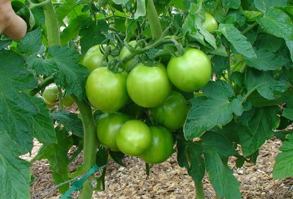 Вызревание томатов Яблонька России