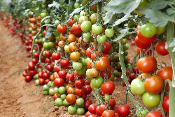 Зреющие томаты