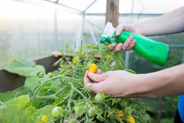 фитоспорин полив помидор