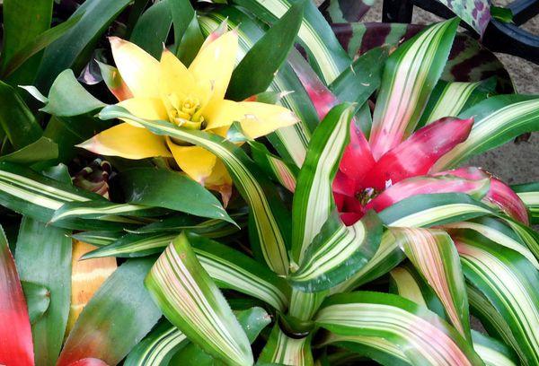 цветок гузмания
