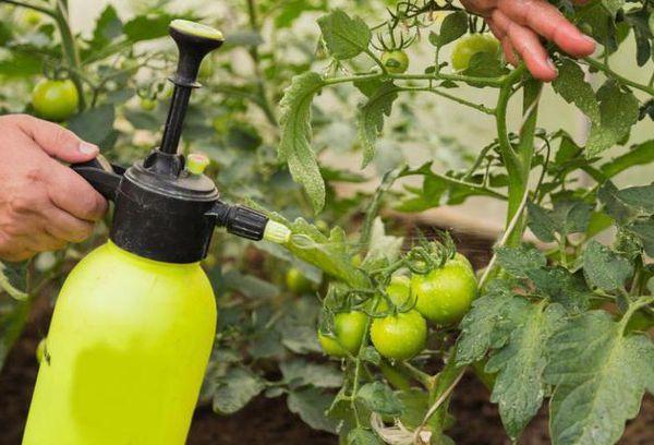 Как обработать помидоры от фитофторы «Трихополом» или «Метронидазолом
