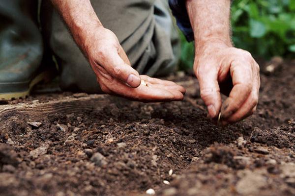Посадка семян в грунт