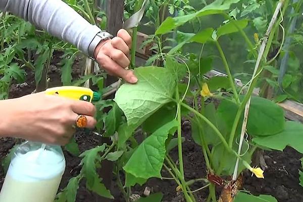 Опрыскивание огурцов по листу