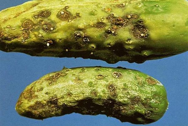 Кладоспориоз - оливковая пятнистость огурца