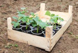 Ящик с рассадой огурцов