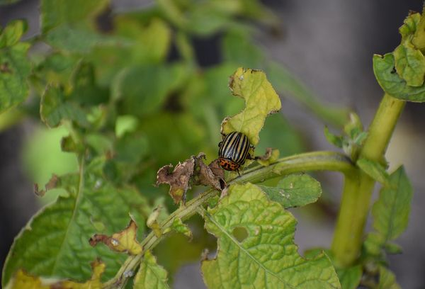 Жуки поедают листья