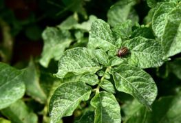 Полосатый жук на листьях томата