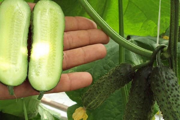 Плод огурца партенокарпического сорта в разрезе