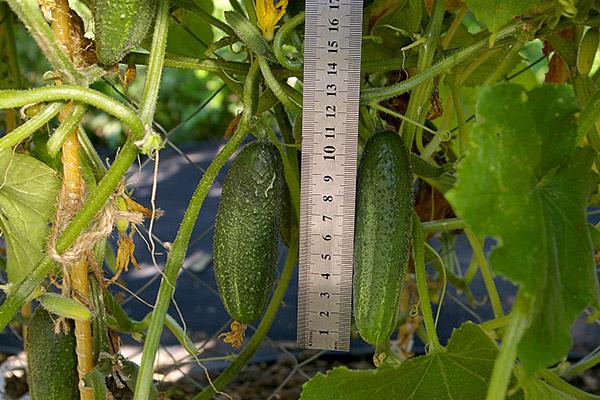 Размер плодов огурца сорта Отелло
