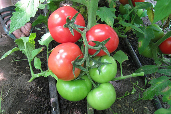 Зреющие томаты Белый налив
