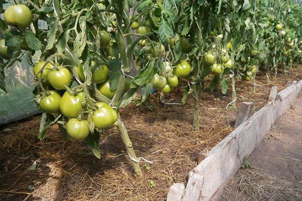 Грядка с помидорами Белый налив