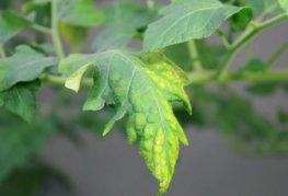 Пожелтевшие листья помидора