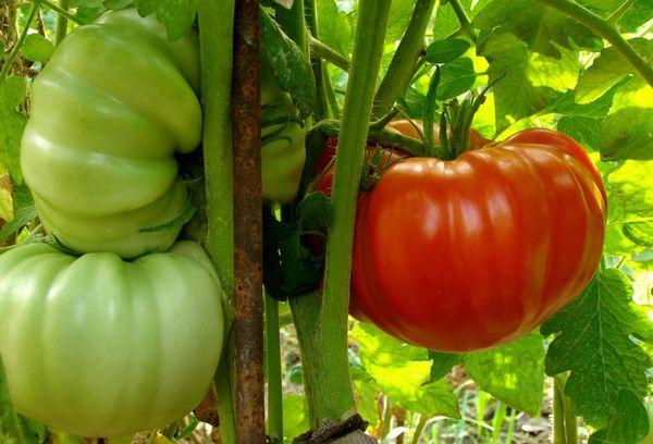 Томаты Бабушкин секрет для любителей крупных помидоров