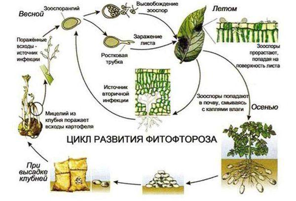 Схема распространениея фитофтороза