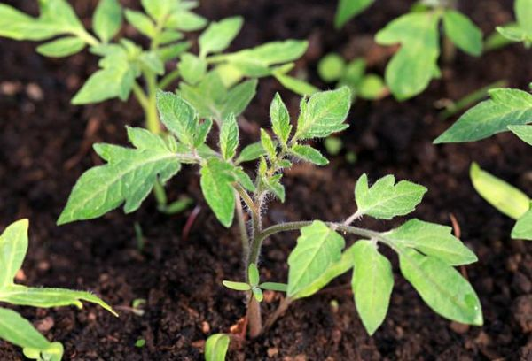 Росток томата в земле