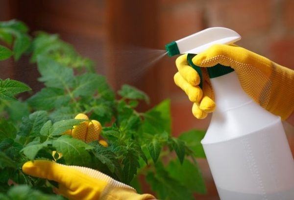 Опрыскивание листьев томата